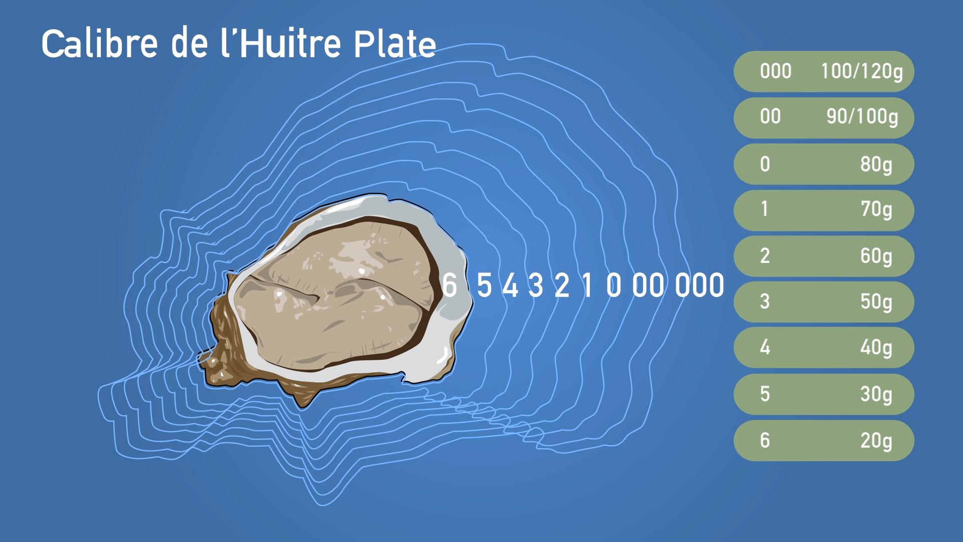 Calibre huitre Plate